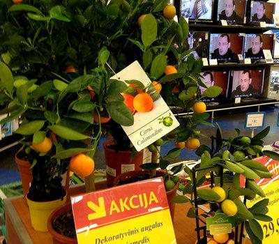 Экзотические плодоносящие деревья на продажу в Максиме