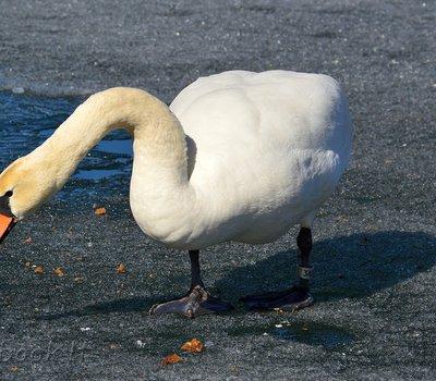 лебедь Тракай Trakai фото