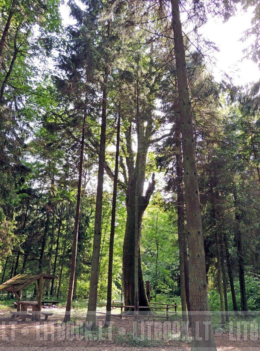 Древний дуб, Vaigeliškių Ąžuolas