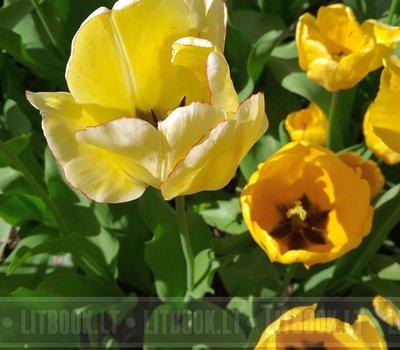 фестиваль тюльпанов в Литве